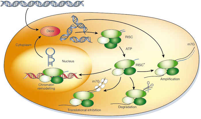 Non-coding RNA and Gene Expression | Learn Science at Scitable